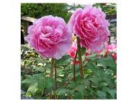 پیاز گل صد تومانی