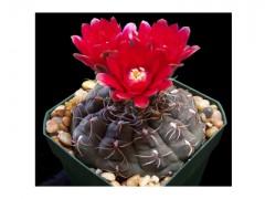 بذر کاکتوس ژمینو گل رنگی