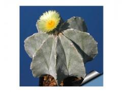 بذر کاکتوس آستروفیتوم میکس