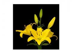 پیاز گل لیلیوم yellow diamond.jpg