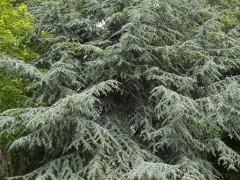 cedar_spruce_(cedrus_atlantica).jpg
