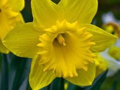 پیاز گل نرگس ژونکی هلند