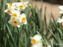 پیاز گل نرگس شیراز (معطر) 10عددی