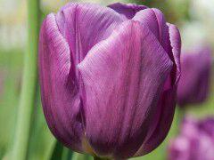 پیاز گل لاله هلندی - بنفش تیره