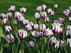 پیاز گل لاله هلندی - بنفش لب سفید
