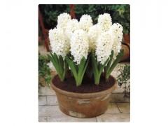 پیاز گل سنبل هلندی سفید