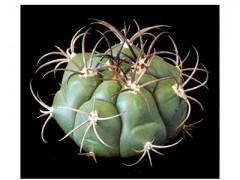 بذر  ژمینو Gymnocalycium sagleone بسته 50 عددی