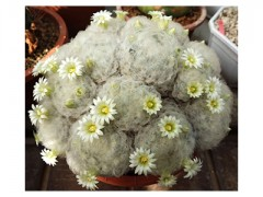 بذر مامیلاریا پلاموسا -   Mammillaria بسته 50 عددی