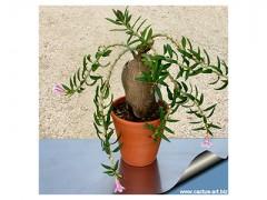 بذر ساکولنت بونسای - نخل مادگاسکار رونده - خاص و کلکسیونی
