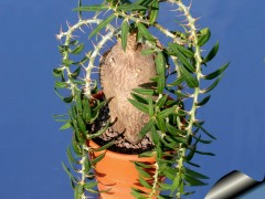 pachipodium_bispinosum_810.jpg