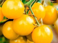 گوجه چری زرد