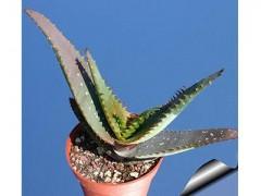 بذرساکولنت آلوئه میروستیگما Aloe microstigma  بسته 1000عددی