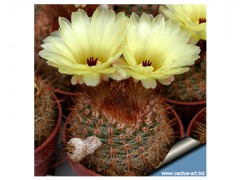 بذر کاکتوس نوتو Notocactus schlosserii بسته 50عددی