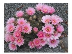 بذر ژمینو Gymnocalycium hybrid بسته 15عددی
