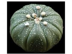 بذر کاکتوس آسترو هیبرید Astrophytum asterias hybrid بسته50 عددی