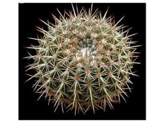 بذر کاکتوس نوتو Notocactus roseoluteus بسته 15عددی
