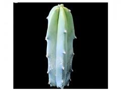 بذر کاکتوس پایه آبی میرتلو Myrtillocactus geometrizans بسته50عددی