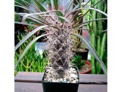بذر نخل ماداگاسکار Pachypodium geayii بسته50عددی