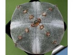 بذر کاکتوس آستروفیتوم Astrophytum myriostigma Cuadricostatus  بسته 1000عددی