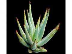 بذر کاکتوس آلوئه Aloe Claviflora  بسته 50 عددی