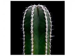 بذر کاکتوس مارجیناتوسرئوس Marginatocereus Marginatus بسته 50 عددی