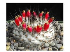 بذر کاکتوس مامیلاریا Mammillaria Chionocephala بسته 15 عددی