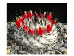 بذر/کاکتوس/مامیلاریا Mammillaria Chionocephala بسته 1000 عددی