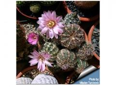 بذر کاکتوس ژمینو gymnocalycium bruchii بسته 15 عددی