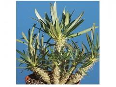 بذر کاکتوس نخل Pachypodium rosulatum بسته 50 عددی