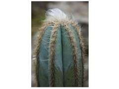 بذر کاکتوس پایه پیلو سرئوس pilosocereus pachycladus  بسته 50 عددی