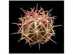 بذر کاکتوس فرو کاکتوس گراسیلی  Ferocactus gracilisبسته 15 عددی