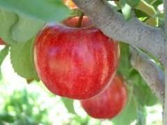 نهال سیب گلد اسمیت اصلاح شده