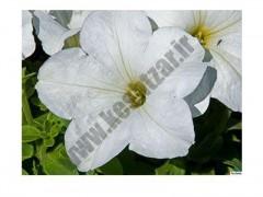 بذر گل اطلسی f1 سفید فرانسه 1000عددی