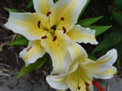 پیاز گل لیلیوم زرد لب سفید هیبرید OT هلند سایز 18/20