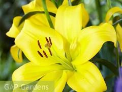 پیاز گل لیلیوم زرد Mynno LA هلندی (3 عدد پیاز)