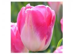پیاز گل لاله هلندی Dynasty سفید لب صورتی(5عدد)