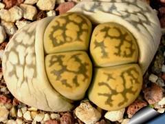 بذر ساکولنت لیتوپس Lithops Karasmontana  بسته 1000عددی