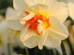 نرگس هلندی(4 عدد) Flower drift