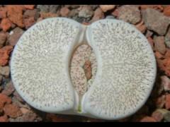 بذر ساکولنت لیتوپس  LithopsVenterii  بسته 1000عددی