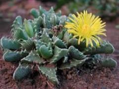 بذر ساکولنت Faucaria tigrina بسته 1000عددی