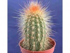 بذر کاکتوس Vatricania guentheri بسته 1000عددی