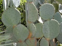بذر کاکتوس اوپونتیا Opuntia rubusta بسته 1000عددی