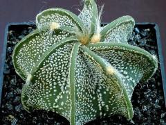 بذر کاکتوس آستروفیتوم بسته1000عددیastrophytum capricone)