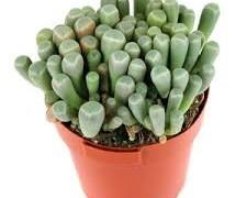 بذر ساکولنت Fenestraria aurantiaca  بسته 1000عددی