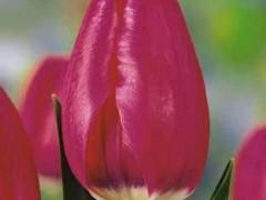 پیاز گل لاله هلندی  سرخ (5عدد)Hunstvile
