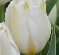 پیاز گل لاله هلندی سفیدOrleans(5عدد)