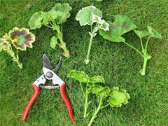 قلمه زدن روشی آسان،برای تکثیر گیاه