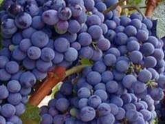 نهال انگور آلفونس،(alphonse)