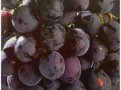 نهال انگور میشل (michele palieri)