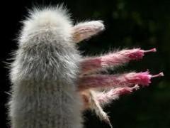 Cleistocactus straussii(بسته 1000عددی)